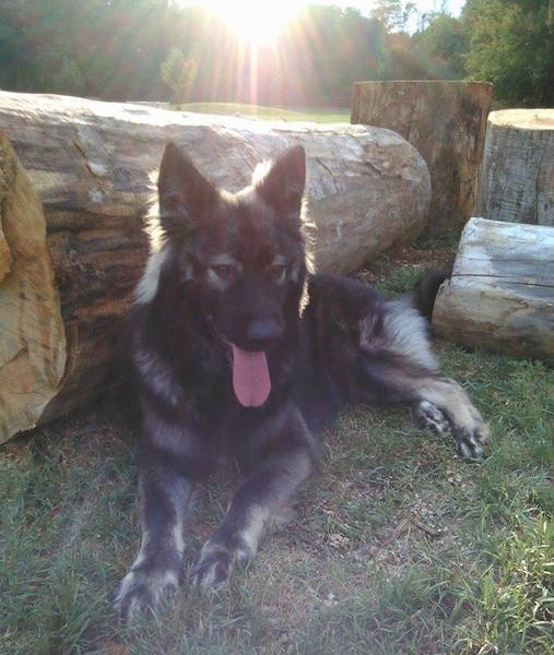 A longhaired black and tan Shepherd dog laying in front of large thick logs with the sun shining into the camera. The dog has its tongue hanging out.