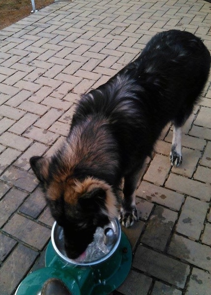 A longhaired black and tan Shepherd dog standing on a brick patio drinjing water from a dog water fountain.