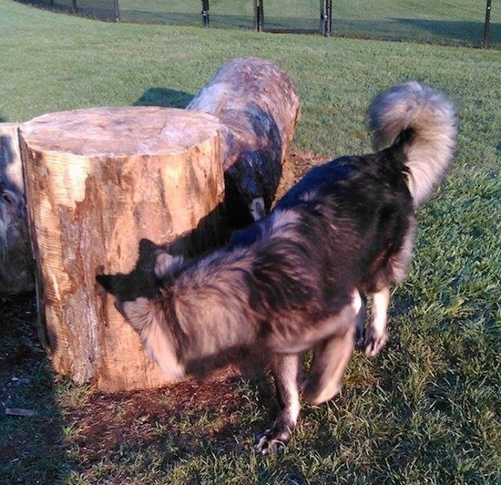 The front left side of a black and tan American Alsatian that is smelling a  large thick cut log that is laying in grass.