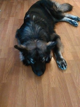 A longhaired black and tan Shepherd dog laying down sleeping on a hardwood floor.