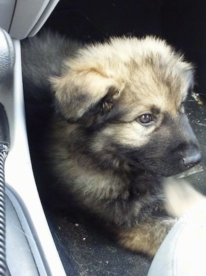 The front right side of a tan and black American Alsatian puppy that is laying down in a car and it is looking to the right.