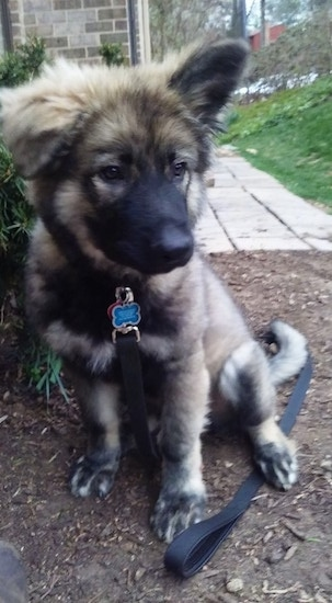 The front left side of a gray and black American Alsatian puppy that is sitting in the dirt with his black leash laying on the ground under it.