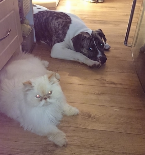 A white with grey brindle American Bulldog mix puppy is laying down on a hardwood floor around a corner and in front of it is a refridgerator. A white himalayan cat is laying next to it.