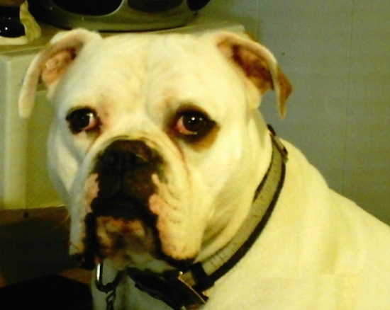 Close up - The left side of the face of a white American Bulldog that is looking forward.