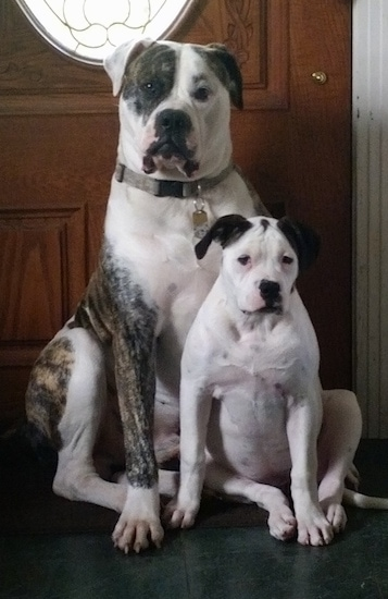 A brindle with white American Bulldog is sitting against a wooden front door with a smaller American Bulldog is sitting in front of it.