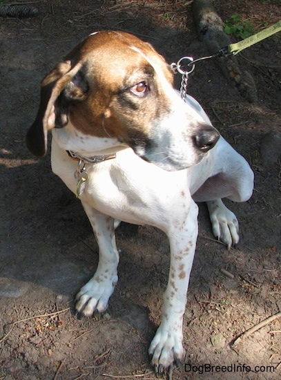 Buck the white, black and brown ticked American English Coonhound sitting outside in the dirt looking to the right