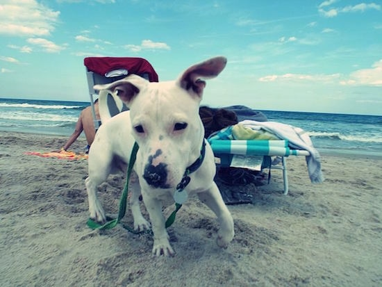 A white American Mastiff/Blue Heeler/Australian Shepherd mix breed dog is walking down sand. There is a bech chair behind it with loads of towels on it and a person sitting on the beach facing the water.