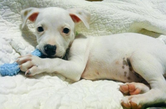 A white American Mastiff/Blue Heeler/Australian Shepherd mix puppy is laying on its right side on top of a white blanket and it is looking forward chewing on a baby blue dog toy shaped like a bone.