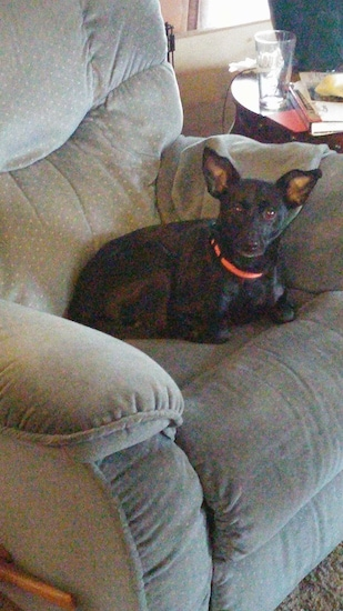 The right side of a black American Rat Pinscher that is laying on a recliner chair and it is looking forward.