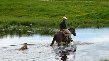 The back right side of a red merle Australian Shepherd following a man wearing a cowboy hat on a horse through a body of water next to a grassy field.