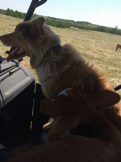 The left side of a red merle Australian Shepherd that is riding in a vehicle, across a field.