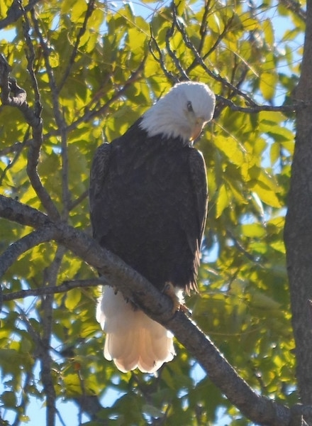 Front view - A bald eagle bird sitting up in a tree looking down at the ground