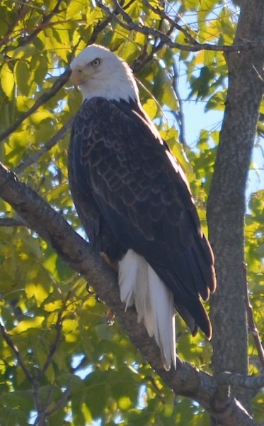Front view - A bald eagle bird sitting up in a tree looking down and to the right with a serious look on its face