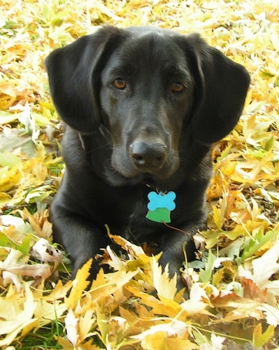 Brody the Bassador laying in grass surrounded by leaves