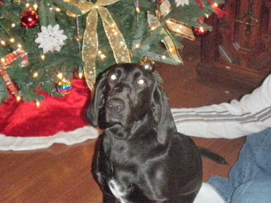 A black with white Bassador is sitting on a floor, in front of a Christmas tree and next to a person
