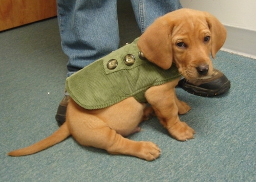 The right side of a red Bassador puppy that is wearing a green jacket with 6 buttons and sitting on a carpet in front of a person