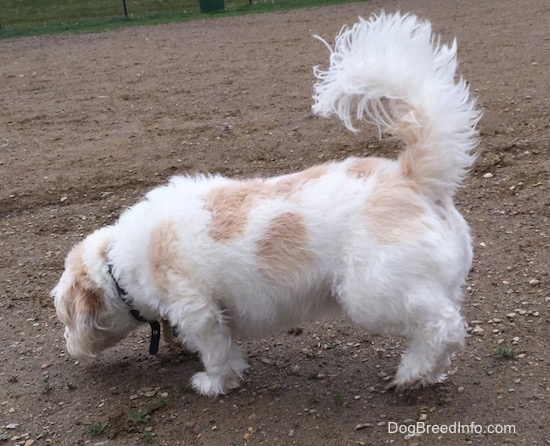 A medium-sized white and tan dog walking to the left as he smells the dirt ground