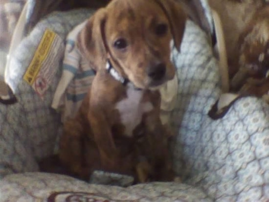 A brown with white Beagle Pit is sitting down in a baby's car seat and its head is tilted to the left.