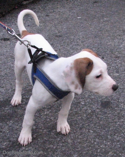 Front side view - A shorthaired, long drop eared, hound looking white with tan puppy wearing a blue harness pulling slightly and looking to the right.