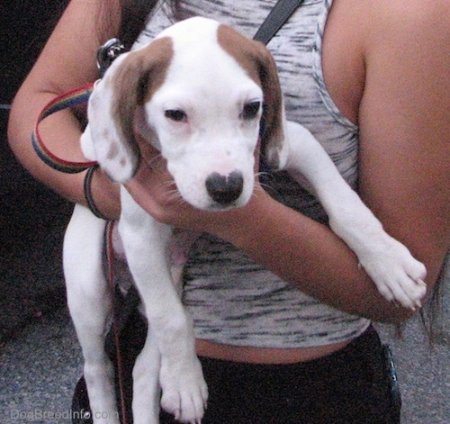 Front view - A shorthaired, long drop eared, hound looking white with tan puppy being held in the arms of a lady in a gray tank top and blank pants.