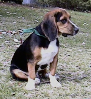 The front right side of a tri-color Beagle, with crooked front legs bent inward, is sitting on a grassy hill and it is looking to the right..