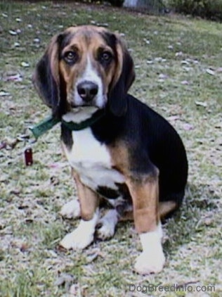 The front left side of a black, brown and white Beagle, with crooked front legs bent inward, is standing on a hill and it is looking forward.