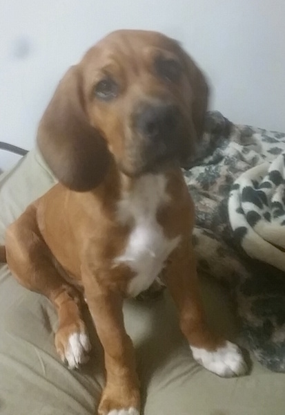 The front right side of a red with white Bebasset Bordeaux puppy that is sitting across a pillow and it is looking up.