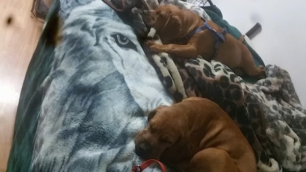 The front left side of two red Bebasset Bordeaux puppies that are laying across a bed.