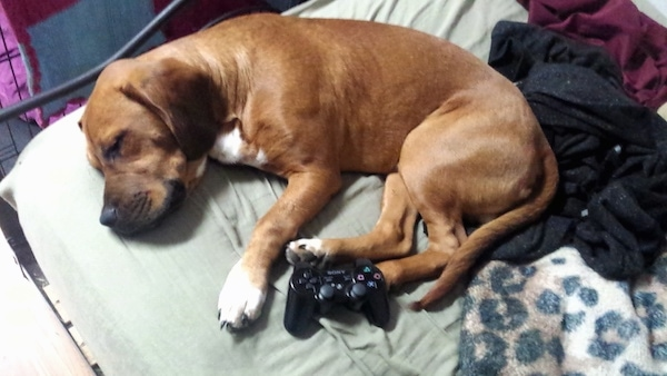 A brown droopy-eared dog with white paws and chest curled up sleeping on a humans bed next to a Play Station 3 controler.