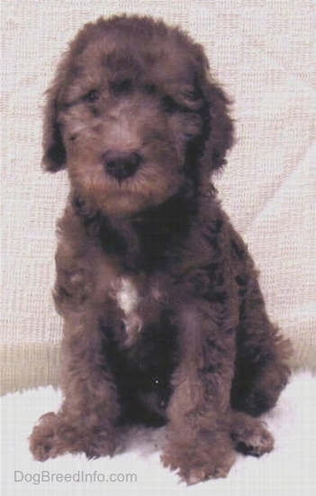 Bedlington Terrier puppy sitting down