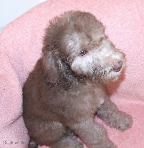 Bedlington Terrier puppy sitting against a pink chair