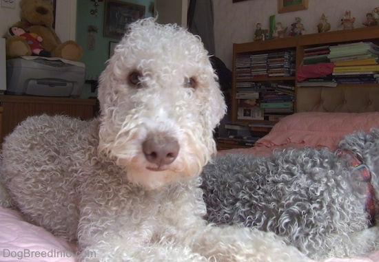 Bedlington Terriers laying down up on the bed, one with its head down and the other looking at the camera