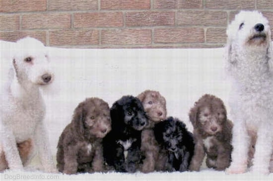 A litter of Bedlington Terrier puppies lined up with two adult Bedlingtons on each side of the pups