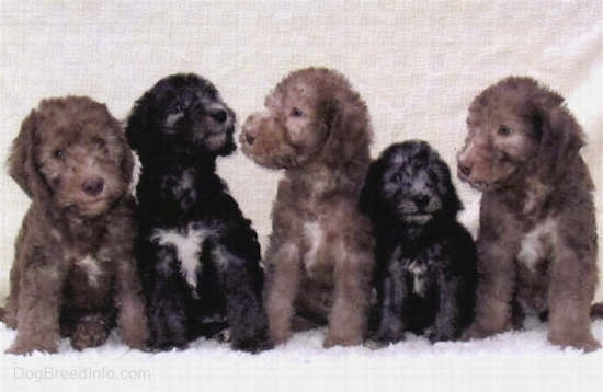 A litter of Bedlington Terrier puppies lined up in a row