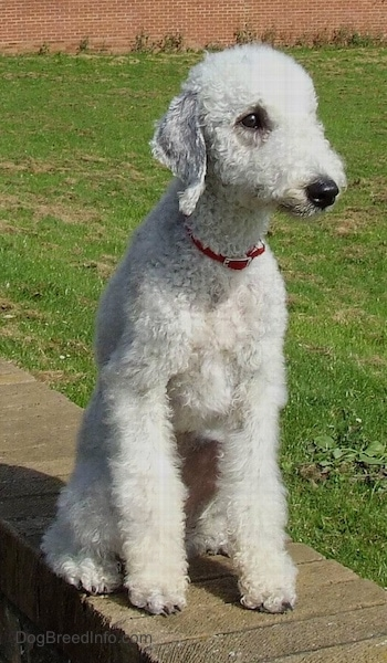 Bedlington Terrier sitting up on a brick wall