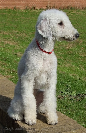 Bedlington Terrier sitting up on a brick wall looking to the right