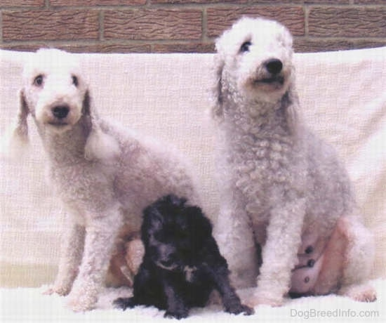 A Bedlington Terrier puppy sitting in front of her parents
