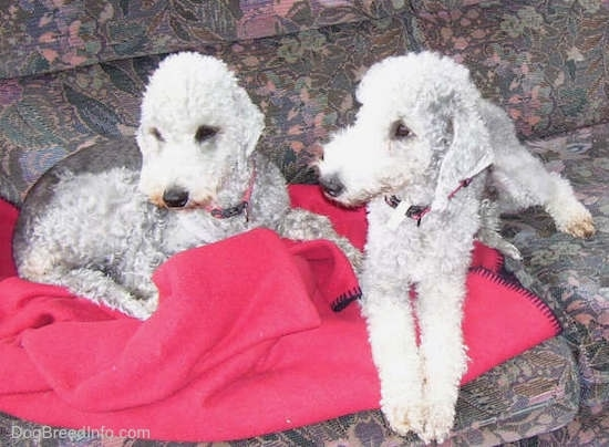 Bedlington Terriers laying down up on the couch on top of a red blanket
