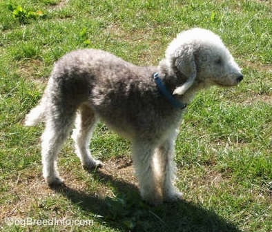 Brenin the Bedlington Terrier standing in a yard, view from the side