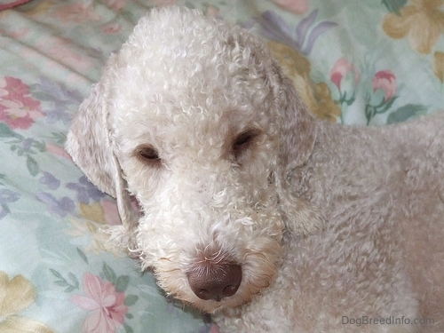 Close Up - Bedlington Terrier sleeping on a bed with flowered sheets
