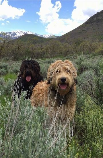 Two Bernedoodles are standing in front of each other outside in tall grass. There mouths are open and there tongues are out.