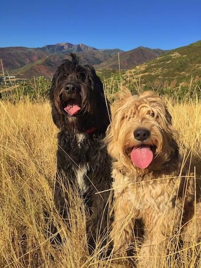 Bernedoodle Dog Breed Information And Pictures