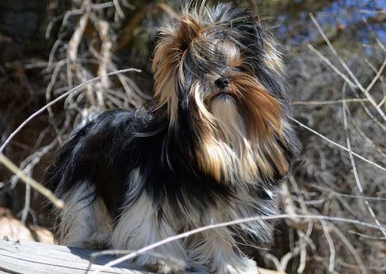 Sir Durango the Biewer Terrier standing on a wooden structure with the wind blowing its hair around