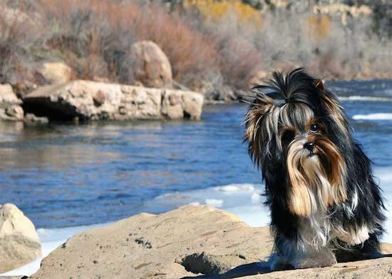 Sir Durango the Biewer standing on a rock in front of a body of water with his head tilted to the right