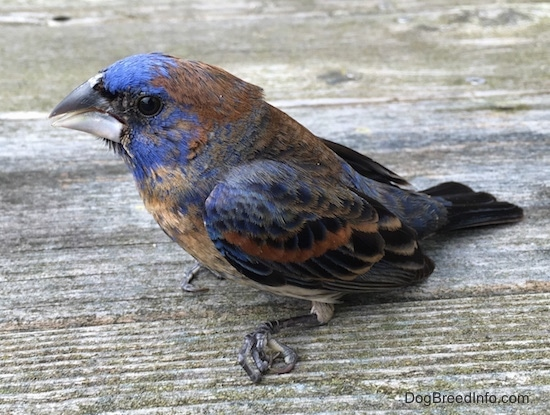 Sideview - A blue brown and black bird sitting on a woodenb deck with its foot curled up