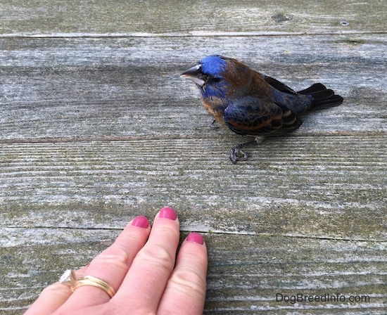 top sideview - A blue brown and black bird sitting on a wooden deck with a hand wearing a diamond ring with pink painted fingernails in front of it