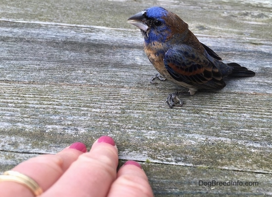 Sideview - A blue brown and black bird sitting on a wooden deck with a hand with pink painted fingernails in front of it