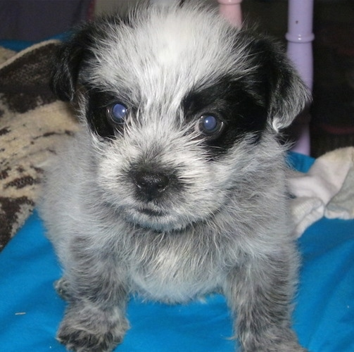 Close up - A little Blue-Tzu Heeler puppy is sitting on a blue pillow and it is looking forward.