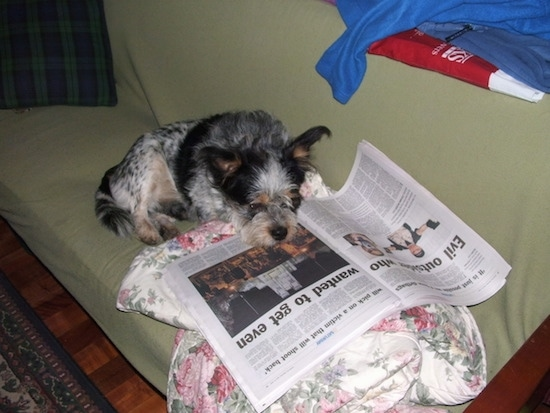 The front right side of a white and black with tan Blue-Tzu Heeler that is laying across a green couch and it is looking down at a newspaper