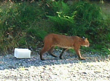 A brown Bobcat is walking across gravel with ferns behind it with a salt lick behind it.